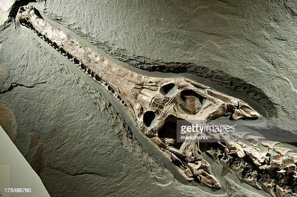 ancient crocodile fossil - fossil stock pictures, royalty-free photos & images