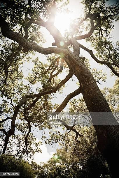 ancient eucalyptus tree karri forest - eucalyptus tree stock pictures, royalty-free photos & images