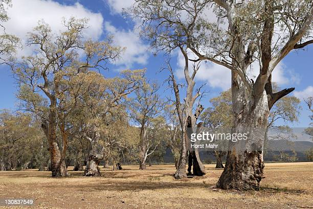 ancient eucalyptus trees in a river valley at melrose, south australia - gum disease stock photos and pictures