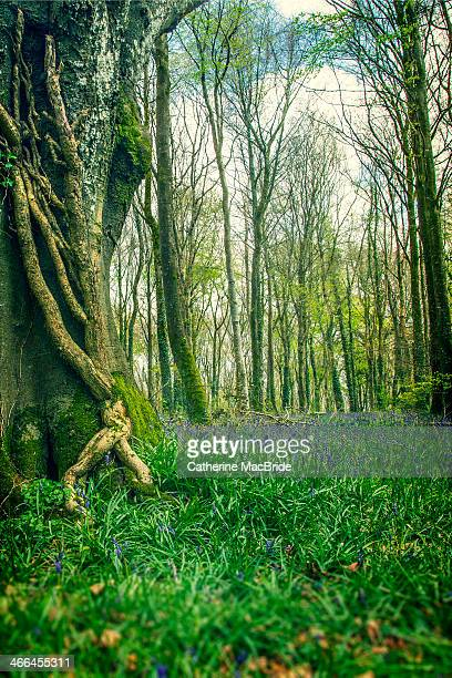 Ancient forest with blue bells
