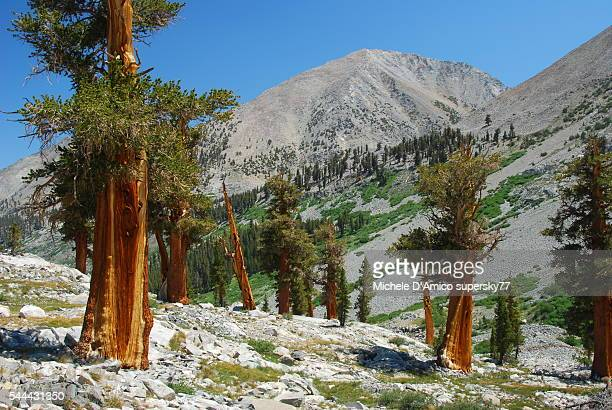 ancient foxtail pines. - john muir trail stock photos and pictures