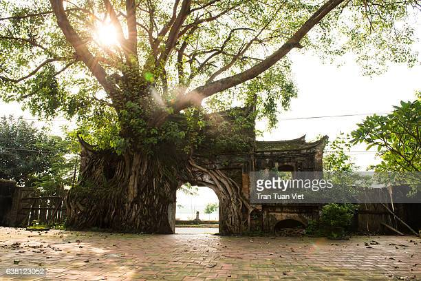 Ancient Gate Cover by Banyan Tree