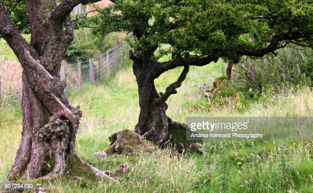 Ancient gnarled trees in a meadow field