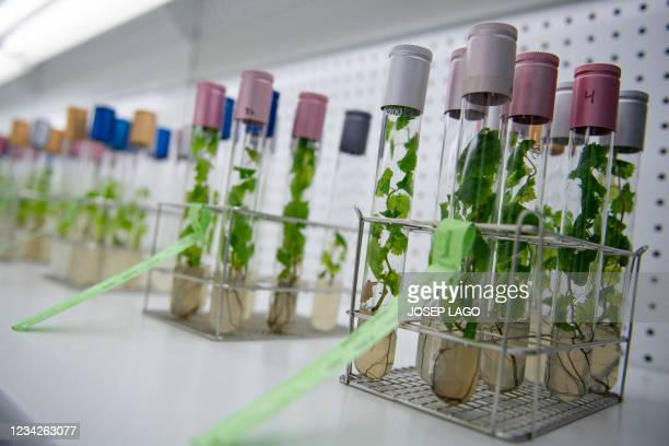 Ancient grape varieties are treated in vitro at the Torres vineyard lab in Vilafranca del Penedes near Barcelona on July 27, 2021. - Climate change...