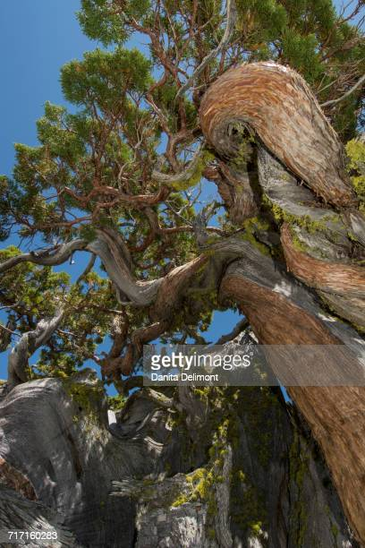 ancient juniper tree (juniperus occidentalis) near echo lake, california, usa - western juniper tree stock pictures, royalty-free photos & images