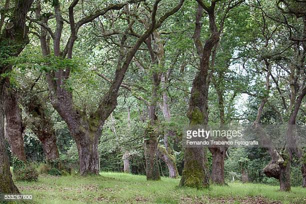 ancient oak forest , Gijón, Asturias, Spain