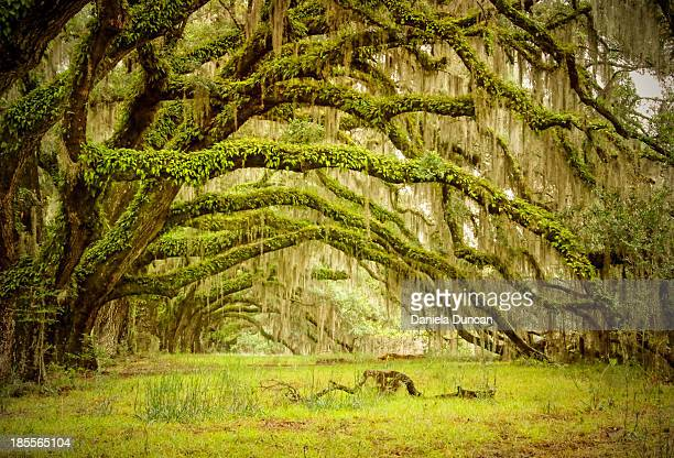 Ancient oak tree branches