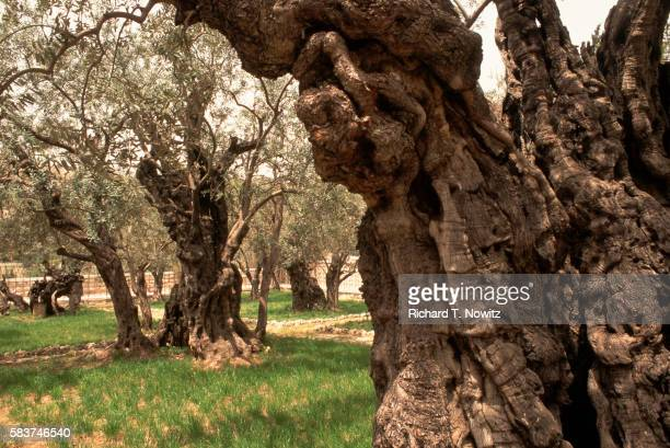 ancient olive trees at gethsemane - garden of gethsemane stock pictures, royalty-free photos & images