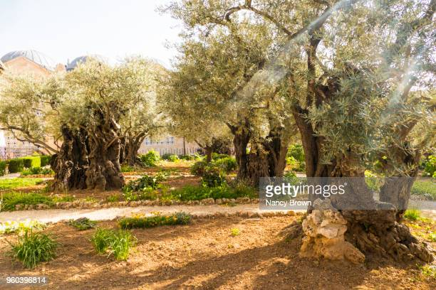 ancient olive trees in the garden of gathsemane - mount of olives stock pictures, royalty-free photos & images