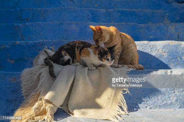 111 Tricolor Cats Photos And Premium High Res Pictures Getty Images