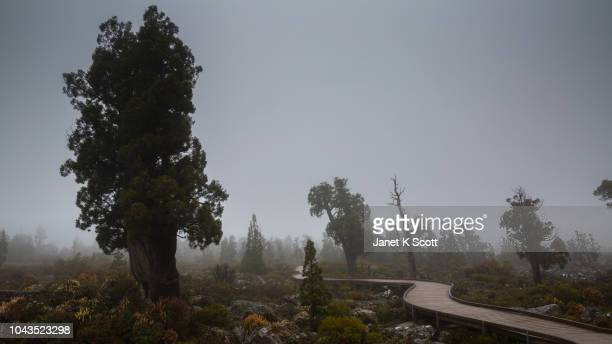 ancient pencil pine in the mist - janet scott stock pictures, royalty-free photos & images
