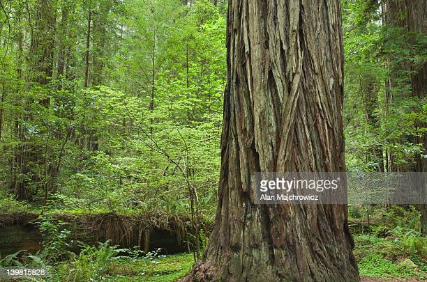 ancient redwoods (sequoia sempervirens) of the stout grove in jedidiah smith redwoods state park, california, usa - grove_(nature) stock pictures, royalty-free photos & images