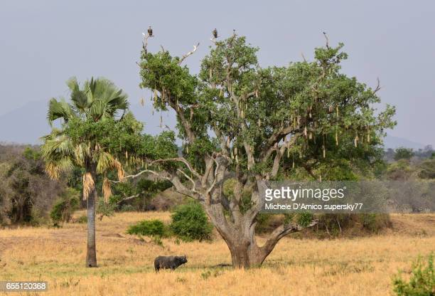 Ancient sausage tree with wildlife