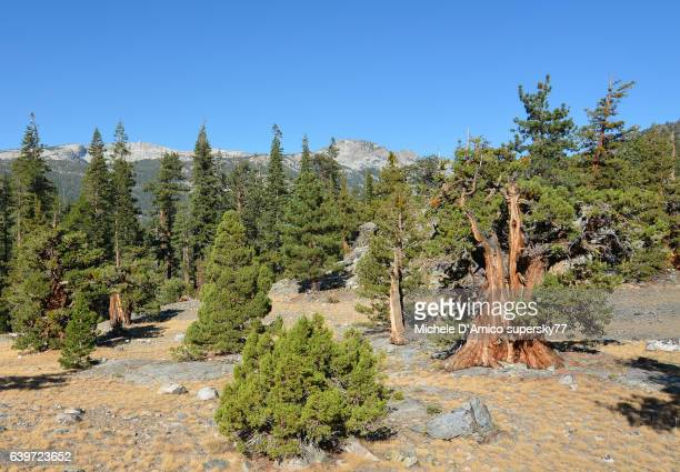 ancient sierra juniper in the sierra nevada of california - john muir trail stock photos and pictures