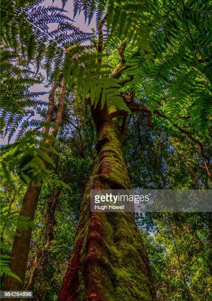 Ancient tree and Vine Katoomba Rainforest Blue mountains Australia