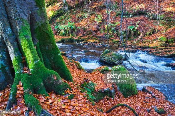 ancient tree, Birks of Aberfeldy, Perthshire, Scotland,