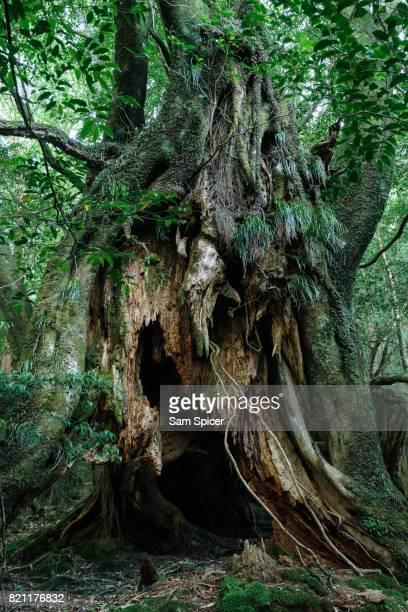 Ancient tree in Rainforest, Yakushima Island, Japan