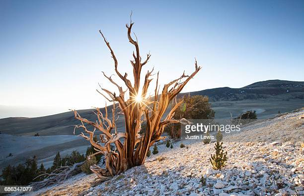 Ancient Tree on Mountainside at Dawn