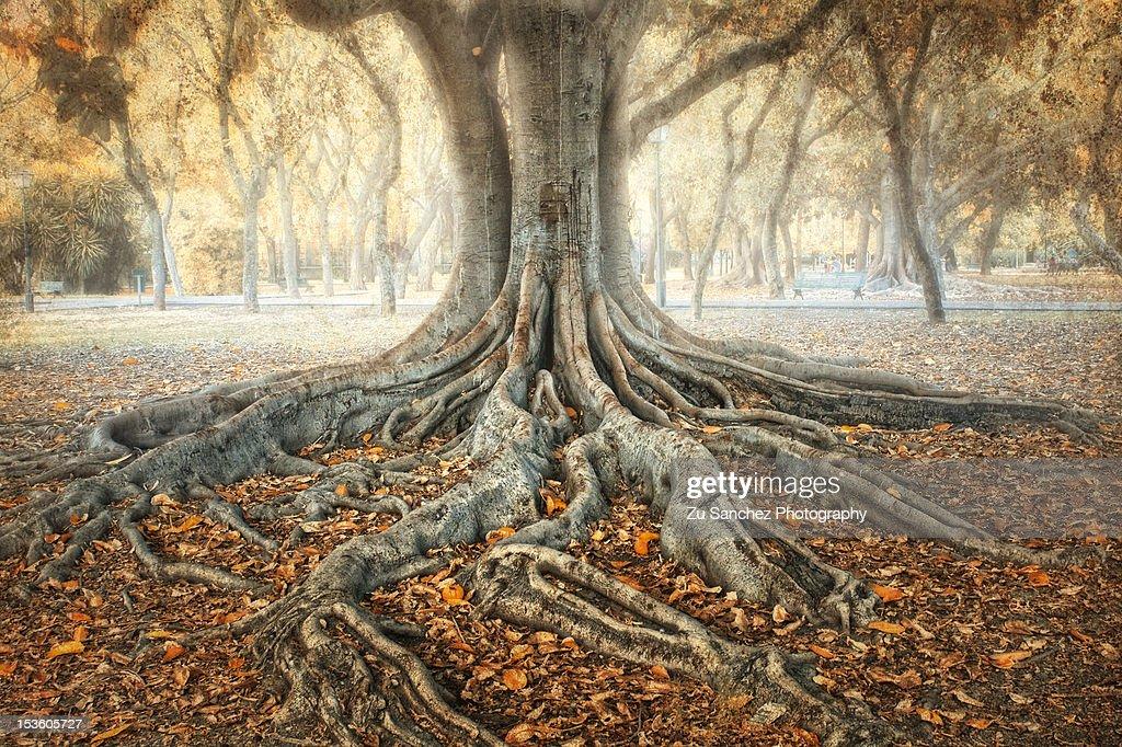 Ancient Tree : Stock Photo