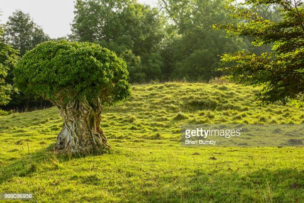ancient trees, king's barrow ridge, wiltshire, uk - ridge stock pictures, royalty-free photos & images
