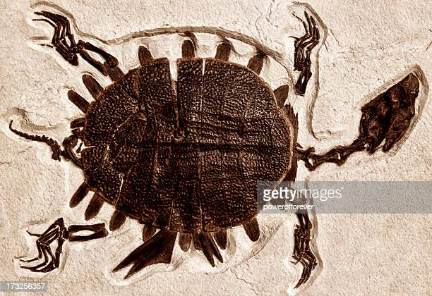 ancient turtle fossil - fossil stock pictures, royalty-free photos & images