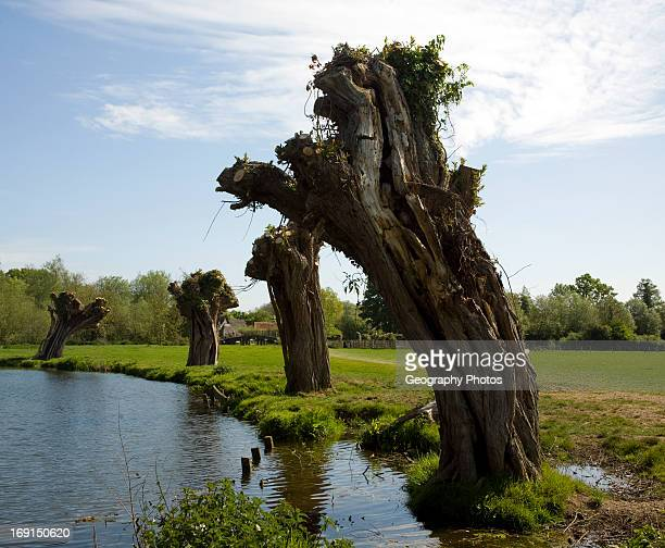 Ancient willow trees recently pollarded River Stour Dedham Vale Essex Suffolk border England