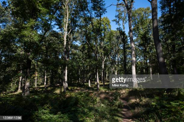 Ancient woodland trees which are part of the National Nature Reserve of the Wyre Forest on 27th September 2020 near Callow Hill, United Kingdom....
