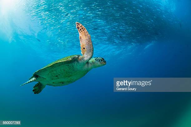 green sea turtle and a school of treval - sea of cortez stock pictures, royalty-free photos & images