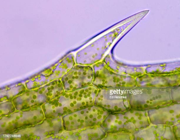 photosynthesis--photosynthetic plant cells with chloroplasts and basic plant cell structure, elodea (an aquatic plant), 100x - ed reschke photography stock pictures, royalty-free photos & images