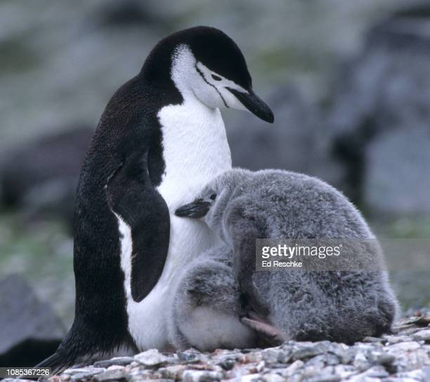 chinstrap penguin and endearing behavior with a chick (pygoscelis antarctica) - chinstrap penguin stock pictures, royalty-free photos & images
