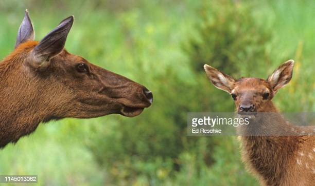 american elk--mother and fawn (cervus canadensis) in yellowstone - ed reschke photography stock photos and pictures