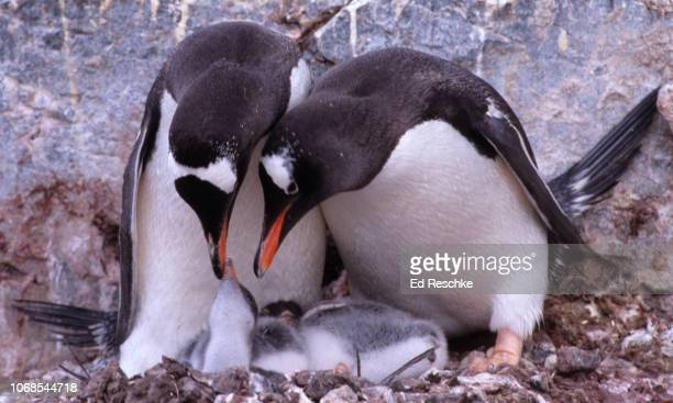 male and female gentoo penguins both caring for the chicks (pygoscelis papua) antarctica - ed reschke photography stock photos and pictures