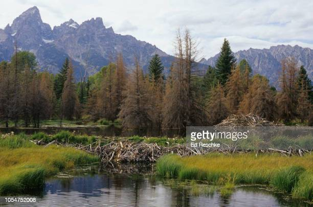 beaver dam and lodge and flooded meadow in grand teton national park, wyoming - beaver dam stock pictures, royalty-free photos & images