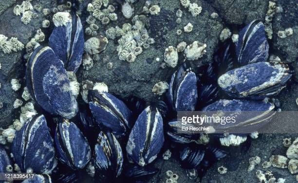california mussels (mytilus californianus), barnacles and limpets at low tide - ed reschke photography photos et images de collection
