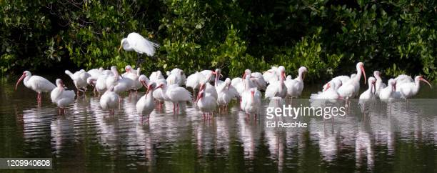 flock of white ibis (eudocimus albus) and one great egret (casmerodius albus) along florida coast - ed reschke photography photos et images de collection