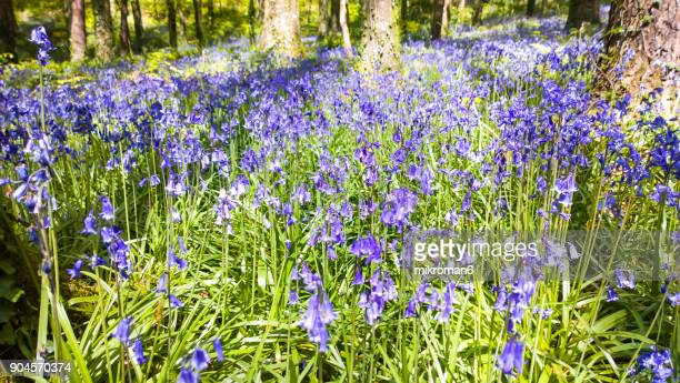 HQ and Resolution Panorama of blue bells in forest. Ireland