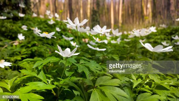 HQ and Resolution Panorama of wood Anemone in forest.
