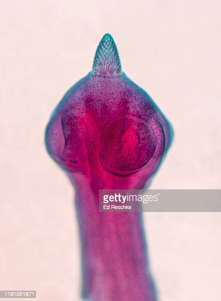 dog tapeworm (dipylidium caninum) scolex with suckers and rostellum with hooks, 25x - parasite stock pictures, royalty-free photos & images