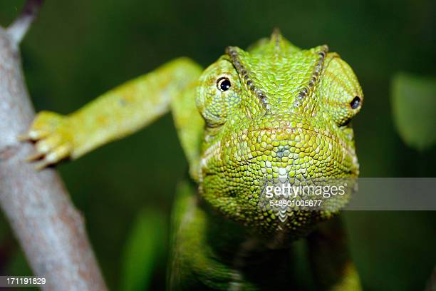 Andalusian Chameleon