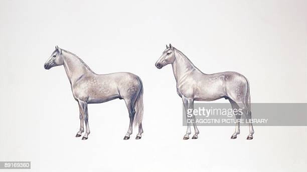 andalusian horse stock photos and pictures getty images