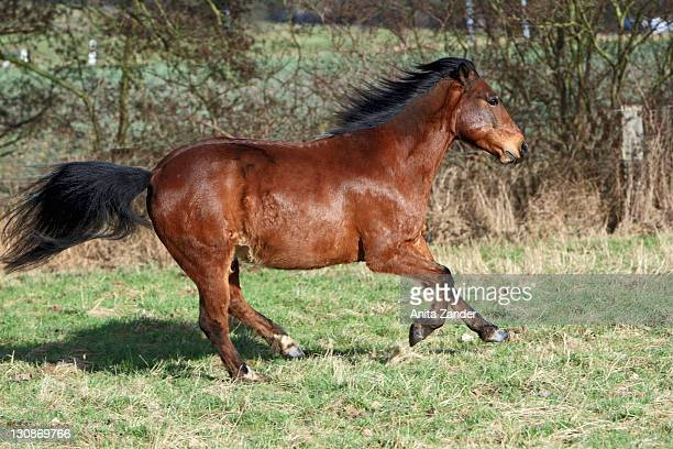 Andalusian horse on paddock