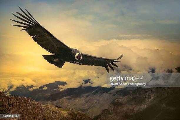 611 Andean Condor Photos And Premium High Res Pictures Getty Images