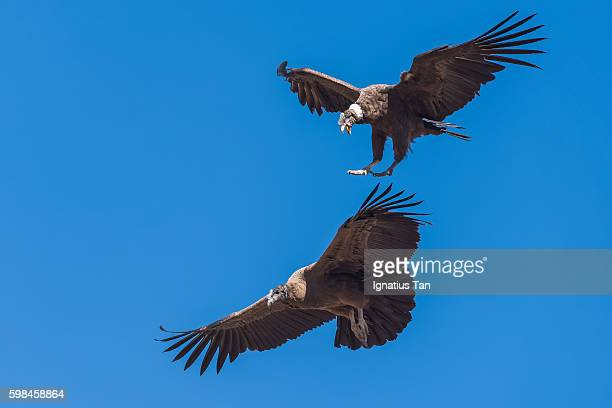 andean condor trying to avoid hitting another condor - ignatius tan stock photos and pictures