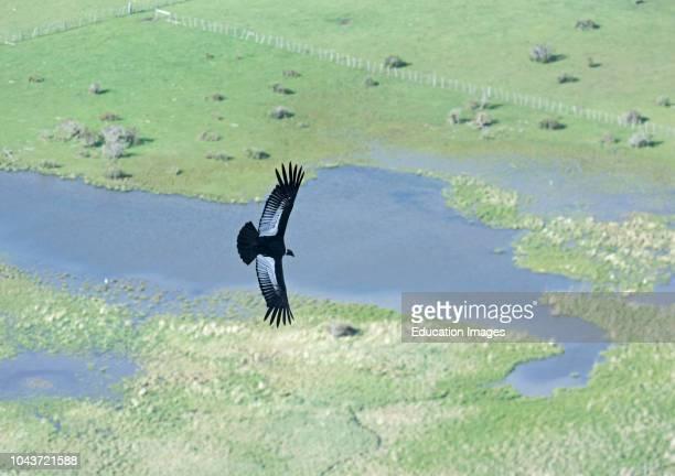 Andean condor, Vultur gryphus, Torres del Paine Patagonia Chile.