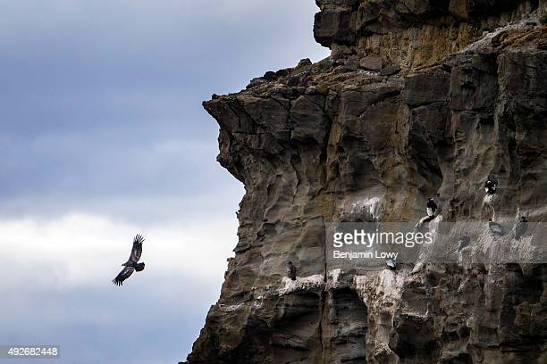Andean condors in the skies above Punta Arenas, Chile, on March 11, 2015.