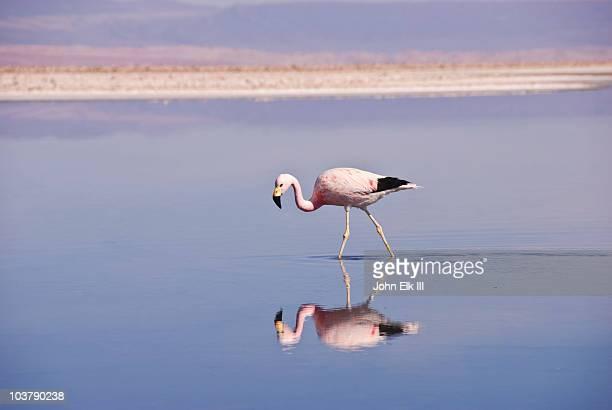 Andean flamingo (Phoenicopterus andinus) in water.