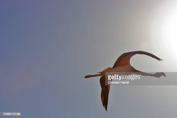 andean flamingo (phoenicopterus andinus), reserva nacional los flamencos, atacama desert, chile - vista lateral stock pictures, royalty-free photos & images