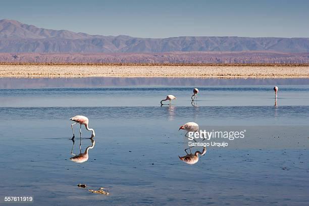 Andean flamingos in Salar de Atacama