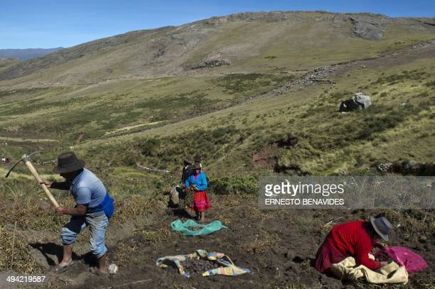 Andean people harvest native potatoes in the Pomacochas district of the department of Apurimac 900 kms southeast from Lima on May 26 2014 Peru is the...