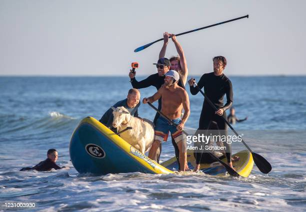 February 05: Anders Hamborg, left front, and Dana McGregor, right front, owner of The Surfing Goats of Pismo Beach, is joined by friends surfing with...